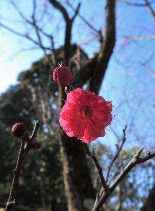 春の庭の紅梅