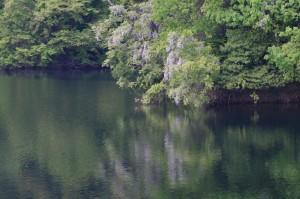 水面に映る藤
